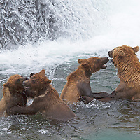 USA, Alaska, Katmai. Grizzly sow and three first-year cubs sparring at Brooks Falls, Katmai National Park.