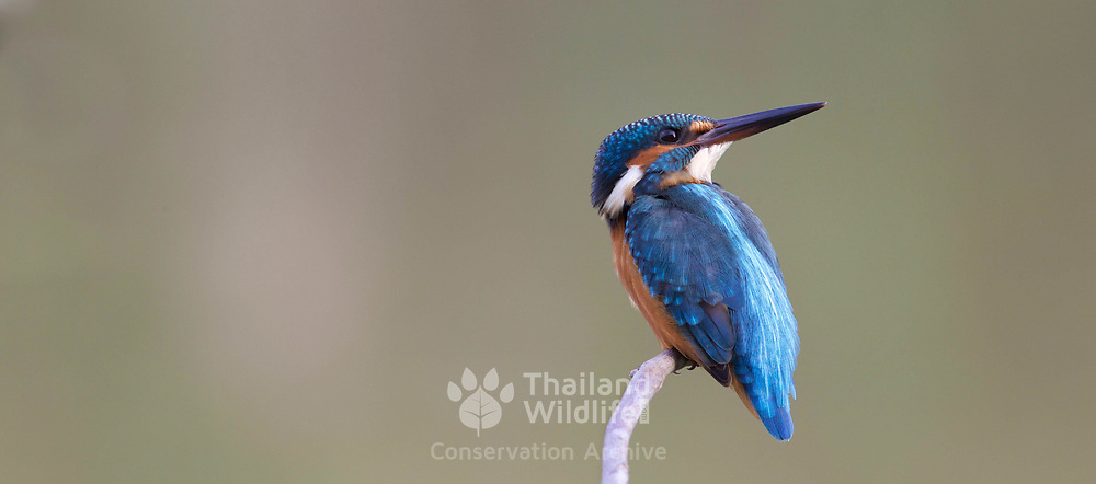 The common kingfisher (Alcedo atthis) also known as the Eurasian kingfisher, and river kingfisher, is a kingfisher with seven subspecies recognized within its wide distribution across Eurasia and North Africa.