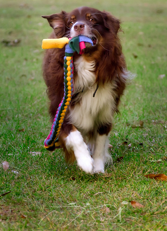 Cowboy, a red tri Australian Shepherd, runs with a braided tug toy, October 29, 2015, in Coden, Alabama. (Photo by Carmen K. Sisson/Cloudybright)
