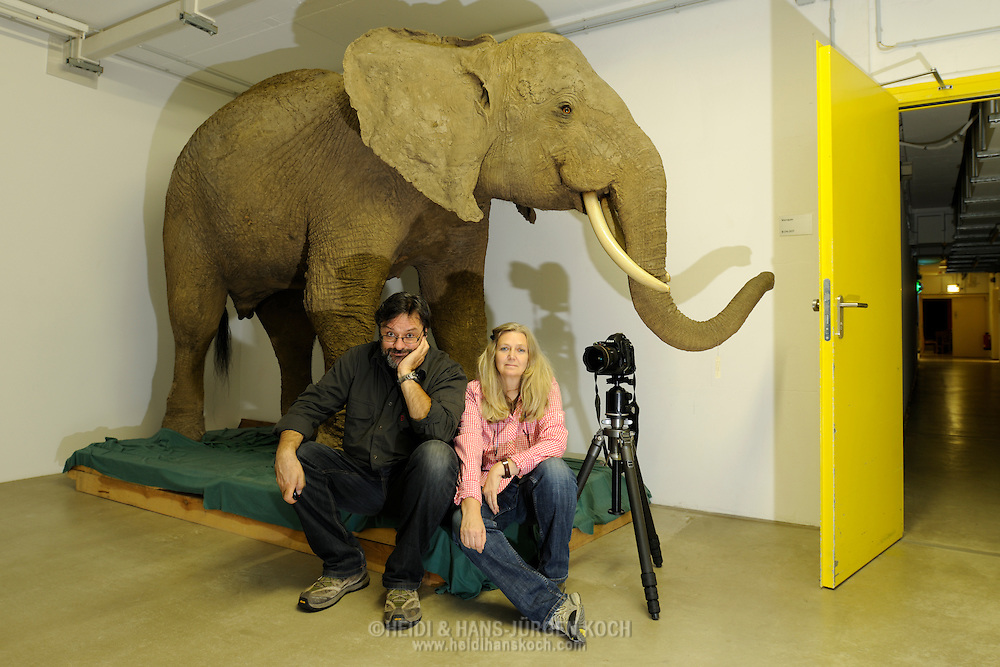 Photographers Heidi and Hans-Juergen Koch with prepared African elephant,.Senckenberg Natural History Collection Dresden..Fotografen Heidi und Hans-Juergen Koch mit praepariertem Afrikanischen Elefant, .Senckenberg Naturhistorische Sammlungen Dresden.