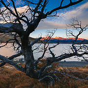 Beech Tree along the shore of Laguna Azul Torres del Paine National Park, Laguna Azul, Patagonia, Chile