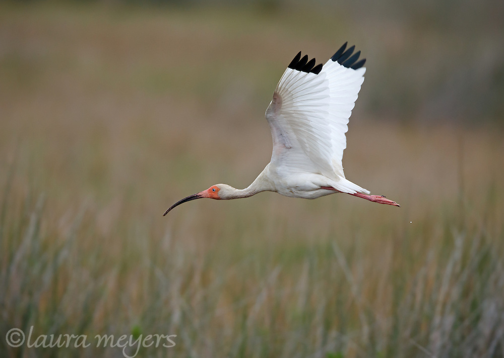 White Ibis in flight over swamp area.