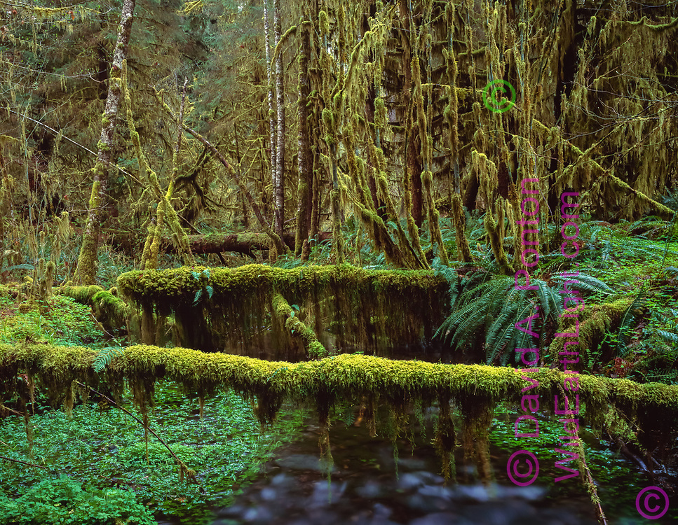 Mossy logs laying across Taft Creek, Hoh Rain Forest, Olympic National Park, Washington, © 1995 David A. Ponton  [From 4x5 original]