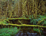 Mossy logs laying across Taft Creek, Hoh Rain Forest, Olympic National Park, Washington, © 1995 David A. Ponton  [From 4x5 original]