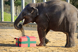 © Licensed to London News Pictures. 11/11/2010 Whipsnade UK..Christmas comes early for Whipsnade Zoo's young Asian elephants as they open giant gifts. Two year old Donna ripped and trampled the presents stuffed with hay and festive treats to help get them in the Christmas spirit. Photo credit : Simon Jacobs/LNP