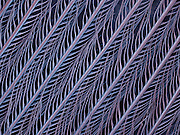 SEM of Eastern bluebird (Sialia sialis) feathers.  This image is 2 mm wide..These feathers have micro-structures that reflect blue light.  These microscopic features allow the bird to display bright blue iridescent colors.