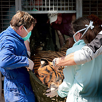 Frankrijk Lieusaint,21 mei 2015.<br /> Stichting AAP die zich inzet voor opvang en welzijn van verwaarloosde dieren waaronder diverse apensoorten haalt nu verwaarloosde 2 tijgers en 2 leeuwen op bij een failliete circus in het plaatsje Lieusaint in de buurt van Parijs om ze vervolgens een betere toekomst te geven in opvangcentrum Primadomus in de buurt van Alicante Spanje<br /> Op de foto: 1 van de tijgers kwam na verdoving alvorens te worden getransporteerd naar dierenopvang Primadomus in Spanje bijna niet meer bij bewustzijn.<br /> In paniek wordt hij uit het hok gehaald voor reanimatie. Links in blauw Stichting AAP oprichter David van Gennep helpt mee.<br /> <br /> <br /> <br /> Foto: Jean-Pierre Jans