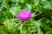 Milk thistle flower, Santa Cruz Island, Channel Islands National Park, California USA