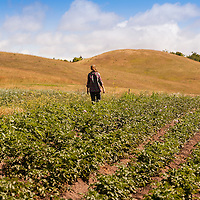 A young woman walking through rows of potato plants growing in a farm field under a blue summer sky.