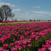 Wooden Shoe Tulip Farm. Woodburn, Oregon.