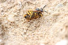 Graafwespen,  Sphecidae, Digger wasps