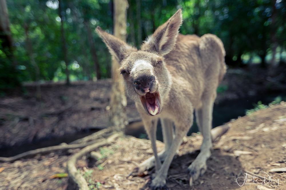 Kangaroo Yawn