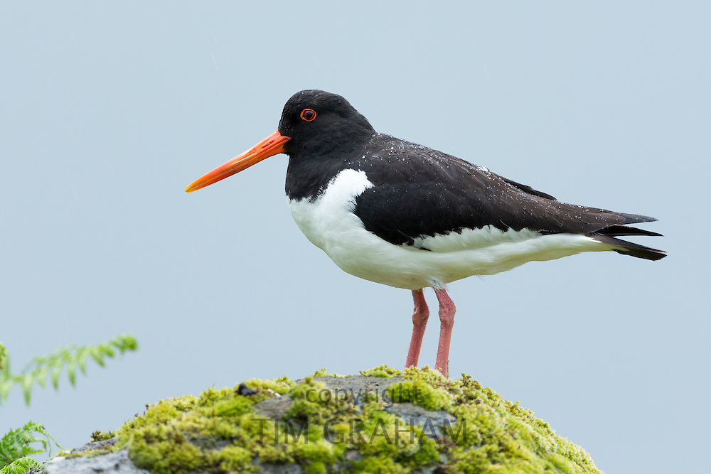 Oystercatcher, Haematopus ostralegus, black and white wading bird with long orange beak (bill) standing on rock on Isle of Mull in the Inner Hebrides and Western Isles, West Coast of Scotland