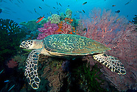 Hawksbill Turtle and Reef Corals/FIsh.Shot in West Papua Province, Indonesia