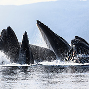 Humpback whales (Megaptera novaeangliae) engaged in cooperative bubble-net feeding in Chatham Strait, Alaska.