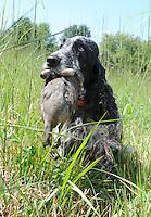 A springer spaniel show dog retrieves a dead bird. sabina louise pierce