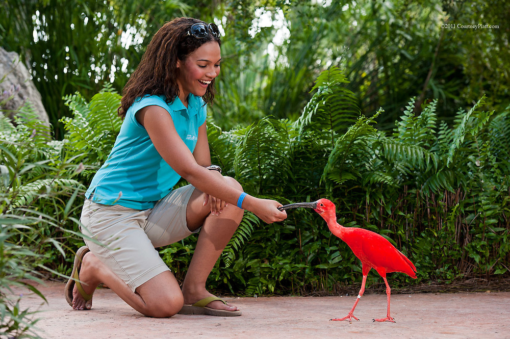 Scarlet Ibis is hand fed by tourist woman in Grand Cayman Turtle Farm's aviary.