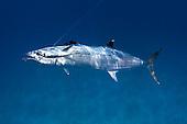 mackerel, Spanish