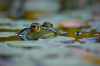 """Green Frog"".A green frog (Rana clamitans) surfaces among floating plants."
