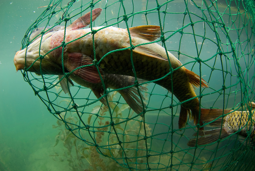 Fish in fisherman's net under water, Lake Skadar, Montenegro,