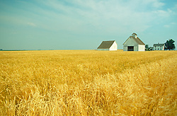 Barn and Wheat Field Agriculture