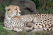 Cheetah<br /> Acinonyx jubatus<br /> Mother and 5 day old cubs in nest<br /> Maasai Mara Reserve, Kenya