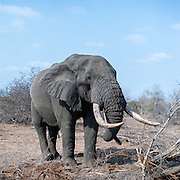 African Elephant (Loxodonta africana) male feeding from the roots of a tree which he pulled from the ground. This tusker is believed to be 50 years old.