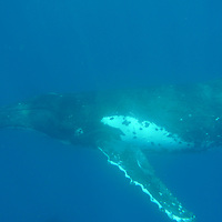 Whales in Tonga