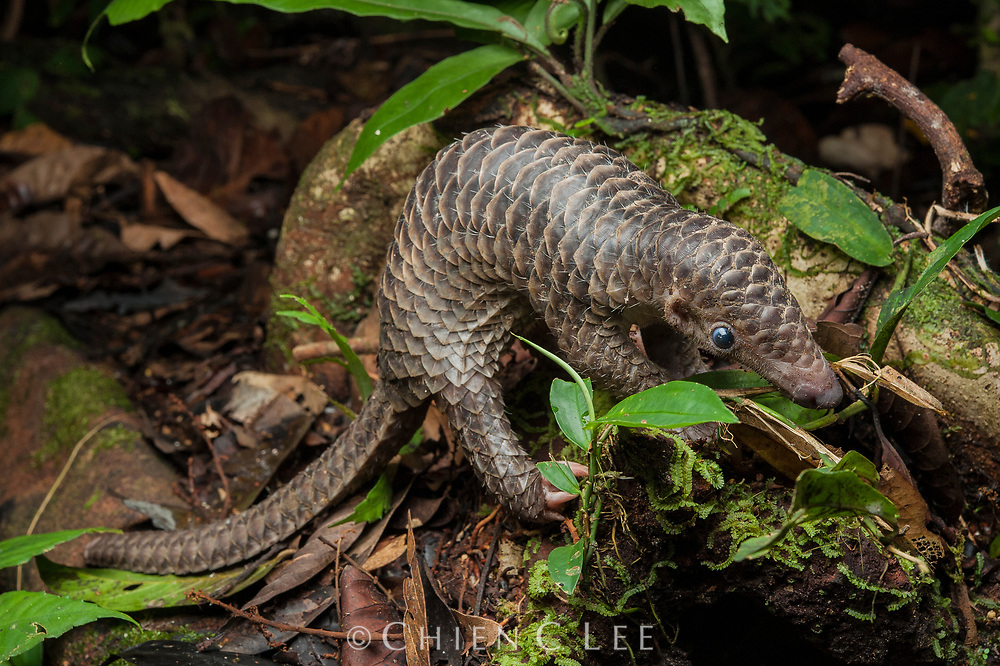 Sunda Pangolin (Manis javanica), juvenile