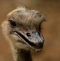A head shot of a mischevious female ostrich (Struthio Camelus) at the Shenzhen Safari Park