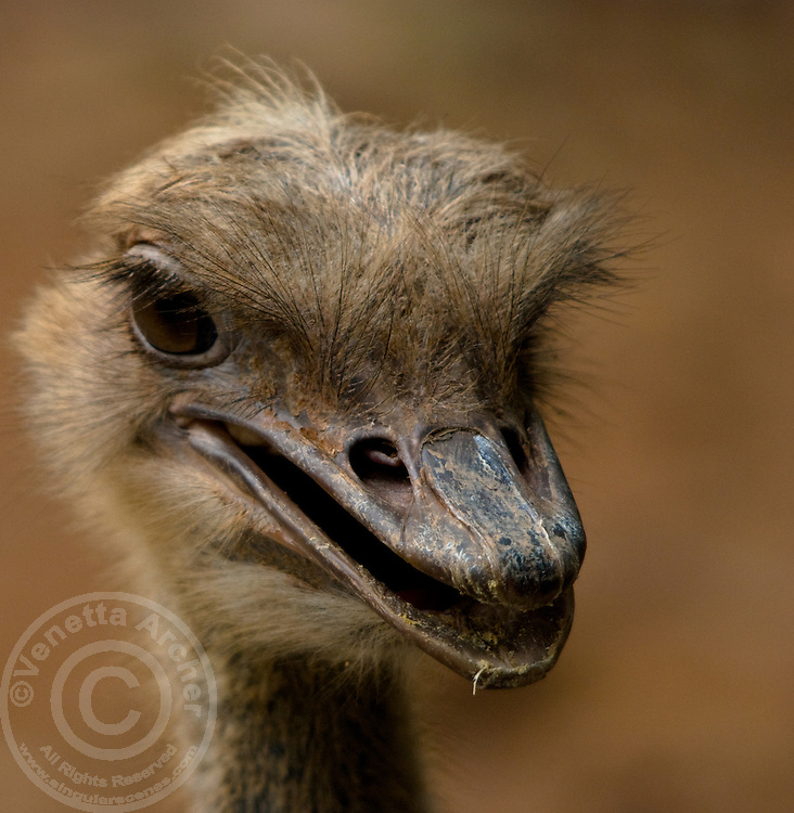 A head shot of a mischevious female ostrich (Struthio Camelus) at the Shenzhen Safari Park