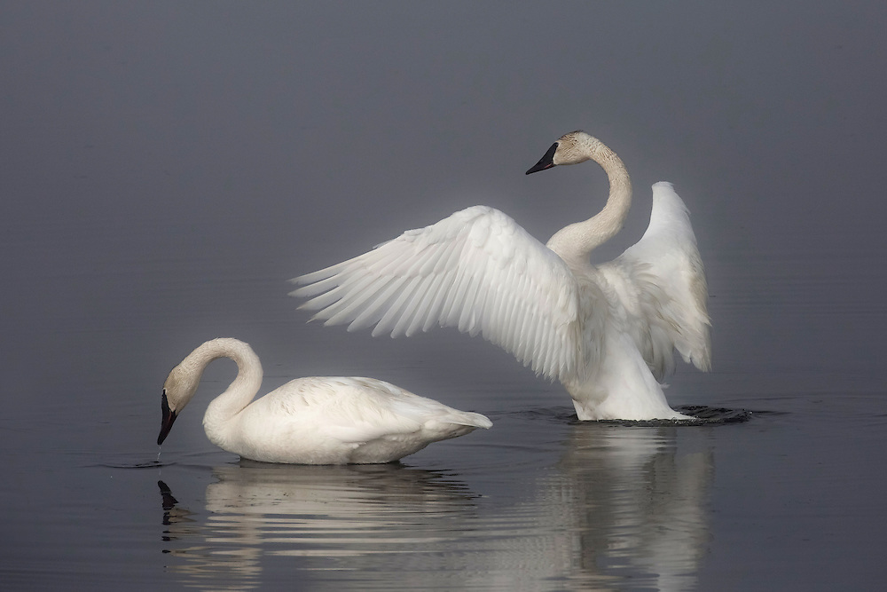The elegant and beautiful trumpeter swan often mates for life. Most pair bonds are formed when swans are 5 to 7 years old, although some pairs do not form until much later in life. Occasionally, if a mate dies, a trumpeter may not pair again for the rest of its life.