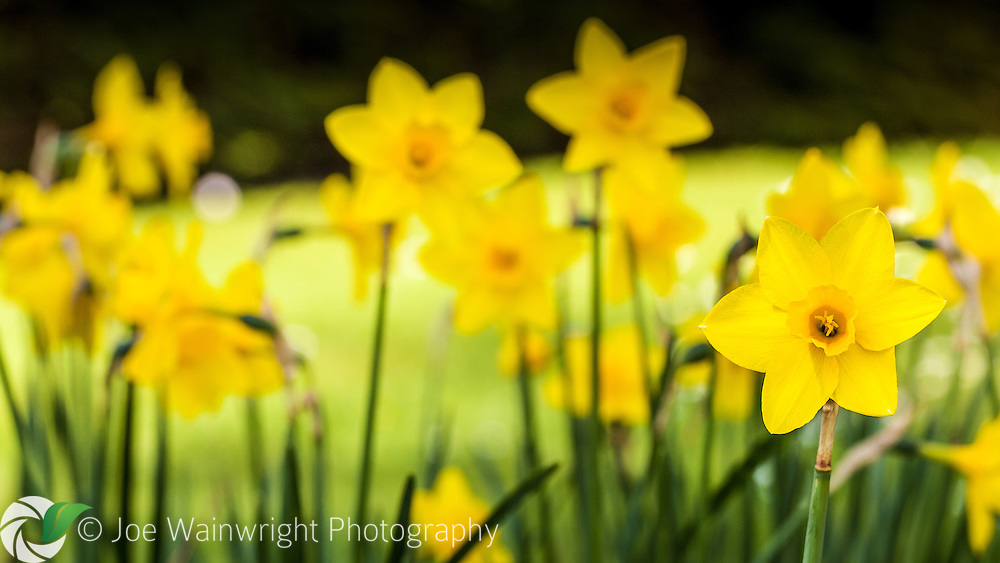 Yellow daffodils photographed in a Welsh garden.