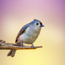 A Tufted Titmouse poses on a tree branch against a mixed backdrop of soft yellow and purple hues.