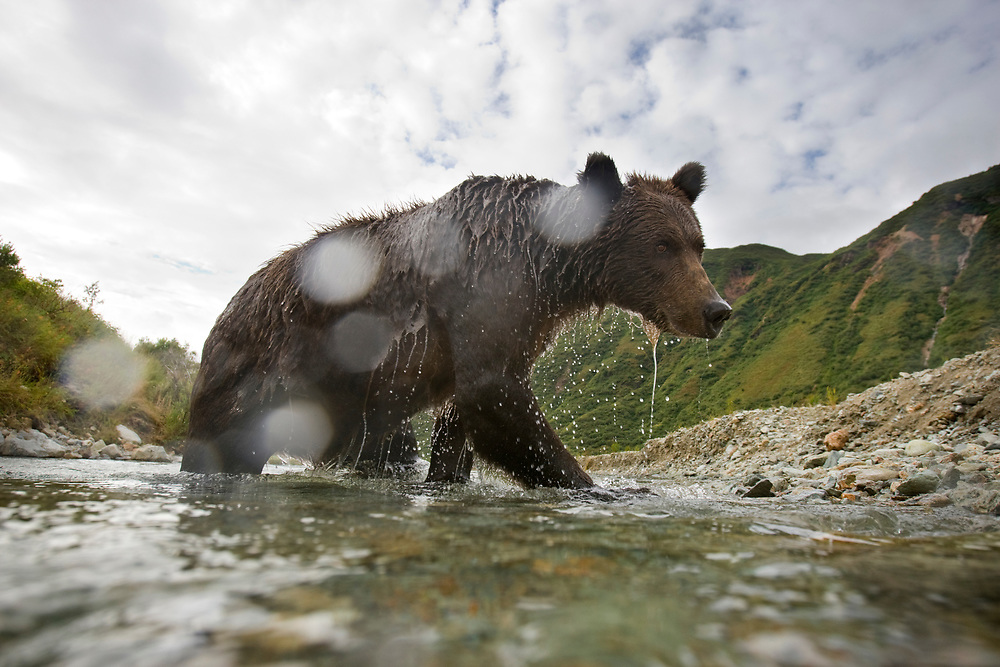 USA, Alaska, Katmai National Park, Kinak Bay, Brown Bear (Ursus arctos) approaches remote control camera in small stream while fishing for spawning salmon