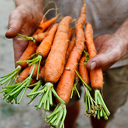Nate Frigard holding carrots recently harvested for the Community Supported Agriculture (CSA) pick-up at his Crimson and Clover Farm in Northampton, Massachusetts.