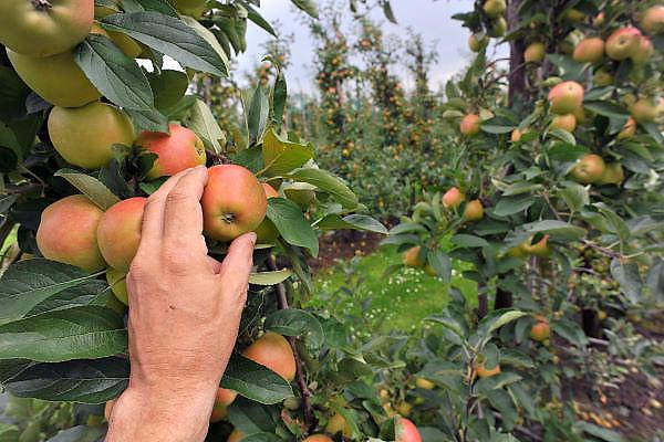 Nederland, Slijk-Ewijk, 12-8-2011Bij fruitteler Veens worden de appels binnengehaald door Poolse arbeidskrachten. De oogst is erg vroeg vanwege het warme voorjaar.Foto: Flip Franssen/Hollandse Hoogte
