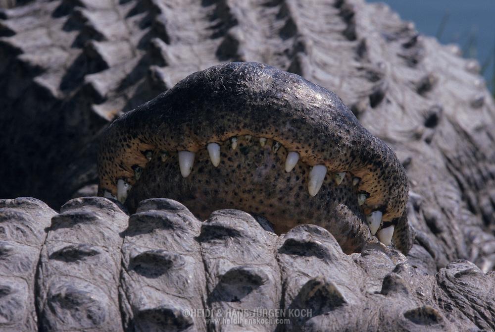 Vereinigte Staaten von Amerika, USA, Florida: amerikanischer Mississippi-Alligator (Alligator mississippiensis). Die auf dem Ruecken eines anderen Tieres abgelegte Schnauze eines Alligators. | United States of America, USA, Florida: American Alligator, Alligator mississippiensis, snout resting on another Alligators back. |