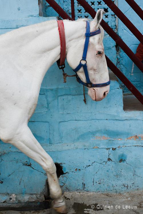Wit paard in de blauwe stad Jodhpur