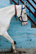 White horse in the Blue city, Jodhpur