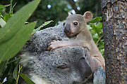 Koala <br /> Phascolarctos cinereus<br /> Mother and five-month-old joey<br /> Queensland, Australia<br /> *Captive