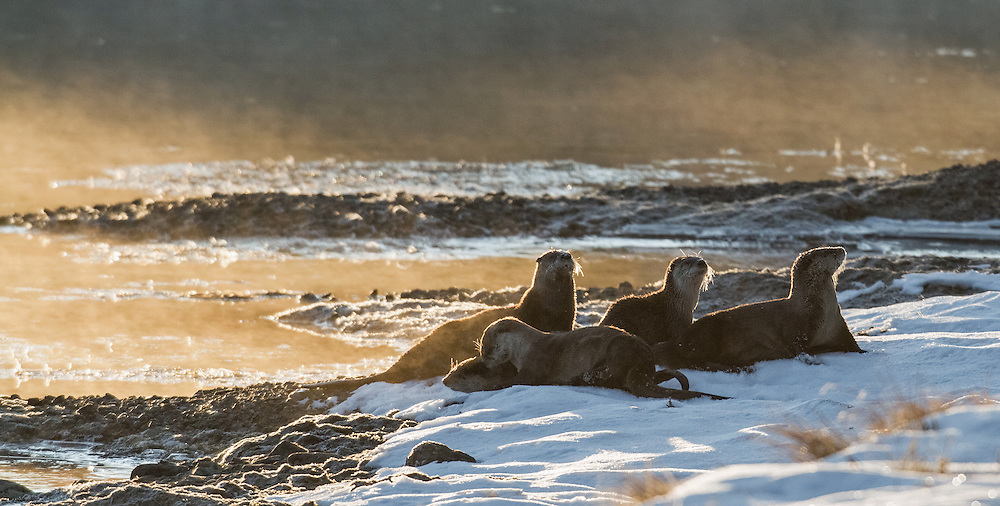 Playful and fun-loving, there is nothing a family of northern river otters like more than sliding on the snow and ice.  This family of otters took a break from fishing to enjoy some playtime on a snow-covered riverbank.