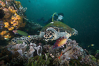 A Hawksbill Turtle feeds of soft corals, with wrasses hunting for prey uncovered by the turtle.  A diver looks on.