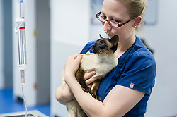 Veterinary nurse holds and comforts a cat at Rushcliffe Veterinary Centre, West Bridgford, Nottingham, UK.<br />