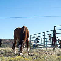100214      Cayla Nimmo<br /> <br /> The horses used for the traditional trail ride graze outside the Beclabito chapter house Thursday afternoon.