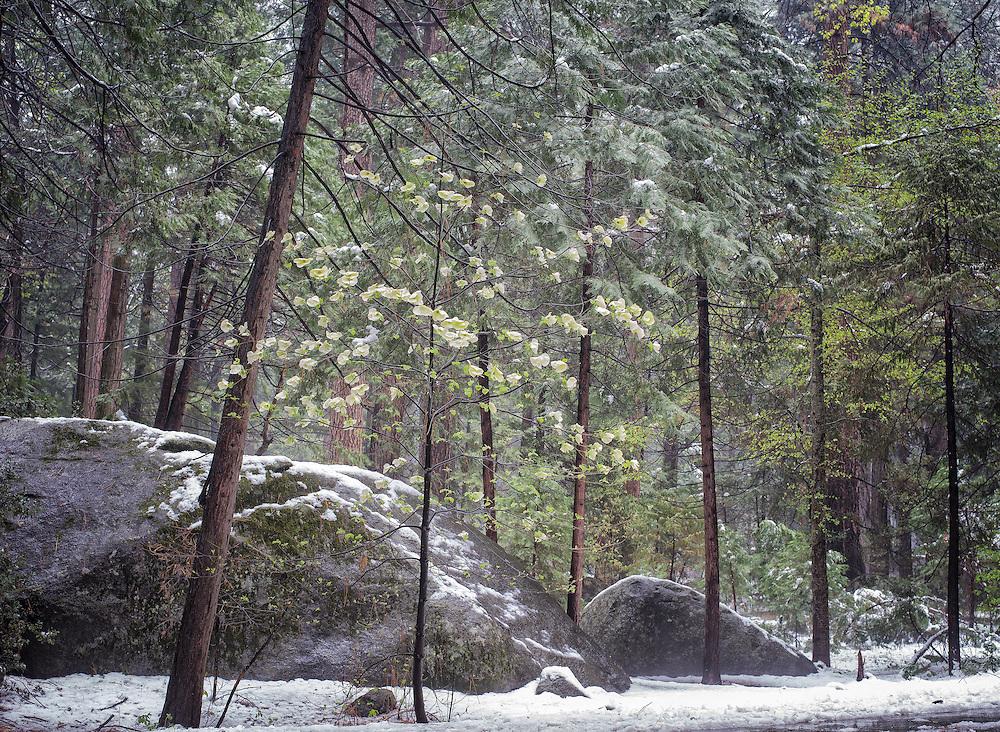Yosemite, Ca - 2015: Yosemite Valley, 2015. Dogwoods and snow.