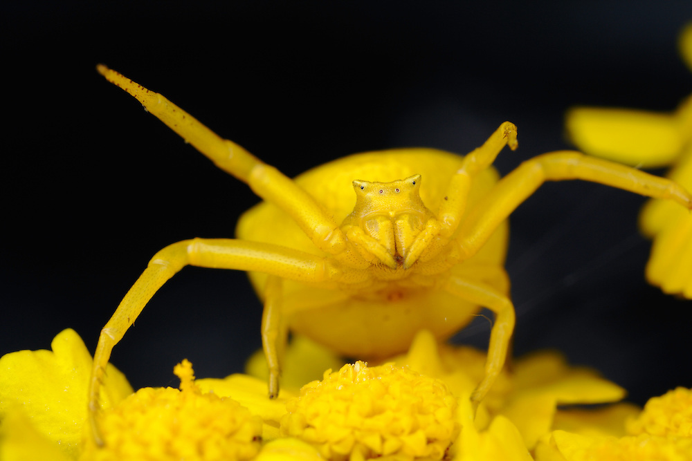 Crab spider, Thomisus onustus, yellow form on yellow Yarrow, Achillea filipendulina (Gold Plate). Front view showing the asymmetry in front leg length; the left leg is much shorter than the right.<br /> Stenje region, Lake Macro Prespa (850m) <br /> Galicica National Park, Macedonia, June 2009<br /> Mission: Macedonia, Lake Macro Prespa /  Lake Ohrid, Transnational Park<br /> David Maitland / Wild Wonders of Europe