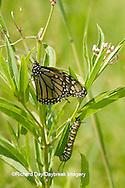 03536-04905 Monarch (Danaus plexippus) butterfly and caterpillar larva on host plant Swamp Milkweed (Asclepias incarnata) Marion Co., IL
