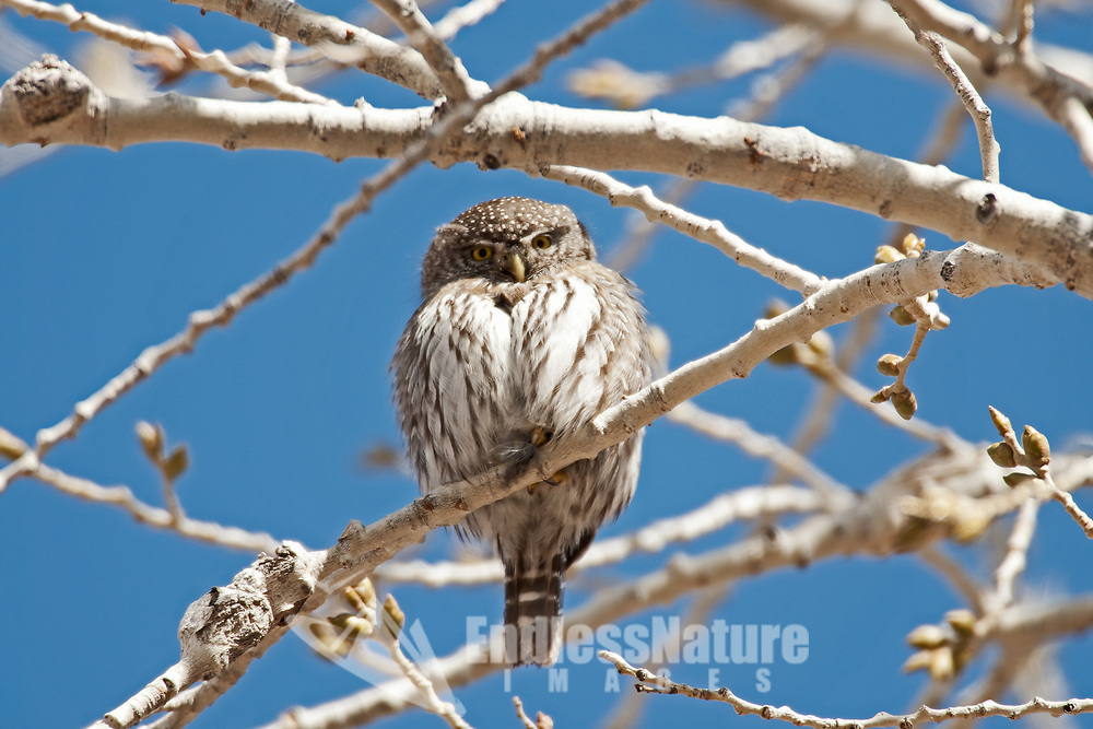 A Northern Pygmy Owl perches in a tree this Owl is only around seven inches tall a small owl.