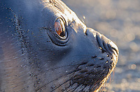 Immature Southern elephant seal, Mirounga leonina portraits at Gold Harbour on South Georgia.